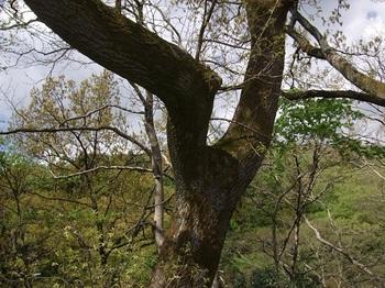 クヌギの老木.jpg